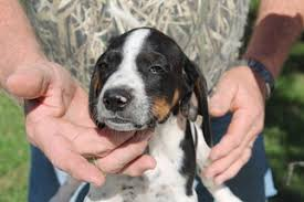 bluetick coonhound breeders in michigan view ad bluetick coonhound puppy for sale texas college station