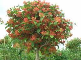 native plants of china mandarin hat plant holmskioldia sanguinea richard lyons