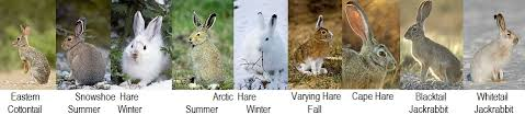 rabbit facts animal facts encyclopedia