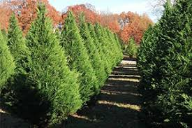 fresh cut trees at new castle tree farms