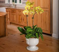 yellow orchids 2 yellow moth orchids in 7 white ceramic urn white flower farm