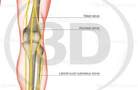 3d Knee Anatomy 3d Medical Image The Nerve Supply Of The Knee High End Medical