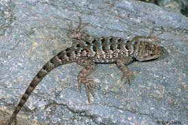 Backyard Reptiles Small Spiny Lizards Found In Californiaand Sagebrush Lizards