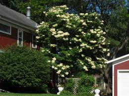 japanese tree lilac knecht s nurseries landscaping