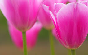 Bimago Fiori by An Awesome Pink Tulips Facebook Cover For Your Fb Timeline Choose