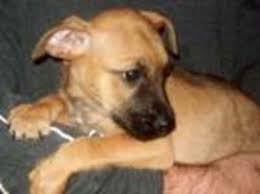 jack russell american pitbull terrier mix fat boy u0026 baby the american pit bull terrier mix designer