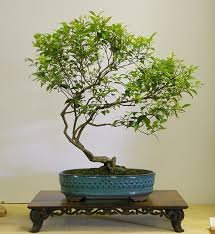 australian native plants as bonsai 2008