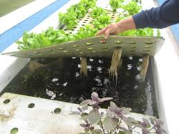 hydroponic vegetable garden with fish home outdoor decoration