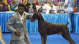 belgian sheepdog price in india doberman greyhound dogs in chennai dog show 2015 youtube