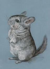 326 best chinchilla images on chinchillas rodents and