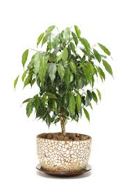 Best Indoor Plants Low Light by Ficus Houseplants How To Care For A Ficus Tree