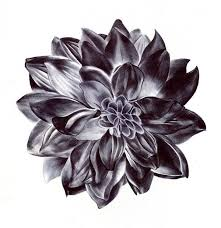 dahlia drawings black dahlia flower drawing tattoos