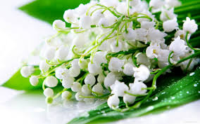 Lily Of The Valley Flower Top 10 Most Searched Beautiful Flowers In The World Hitmasala
