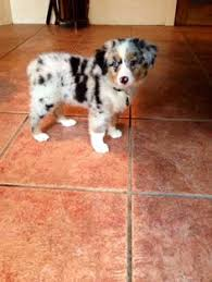 australian shepherd puppies 500 australian shepherd smart working dog blue merle i love and