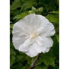 proven winners 1 gal white chiffon rose of sharon hibiscus live