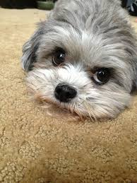 shi poo 40 best shihpoo shih tzu poodle cross images on pinterest