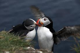 5 things you need to know about puffins icelandmag
