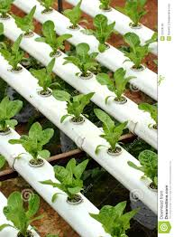 Hydroponics Vegetable Gardening by Agriculture Hydroponic Vegetable 01 Royalty Free Stock Photo