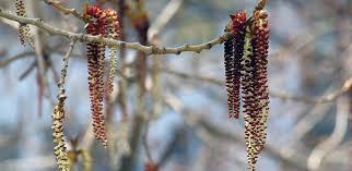 Cottonwood Tree Flowers - cottonwood poplar populus genus level details and allergy info