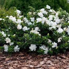 gardenersdream gardenia jasminoides u0027crown jewel u0027 cape jasmine