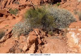 Nevada vegetaion images Nevada mojave desert vegetation stock photos nevada mojave jpg
