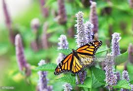 monarch butterfly stock photos and pictures getty images