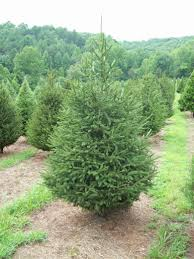 premium pruned norway spruce picea abies jakins christmas trees