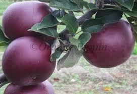 arkansas black apple trees for sale buy friendly advice