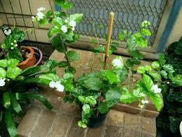 Fragrant Tropical Plants Arabian Jasmine U2013 Melati Menur Kiyanti2008 U0027s Weblog