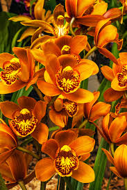 cymbidium orchids what is a cymbidium orchid information about cymbidium orchid care