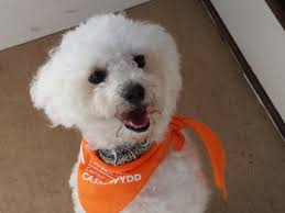 poodle y bichon frise can you give dai a three year old bichon frise a home south