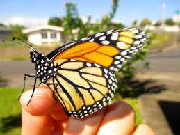 butterflies grow o ahu