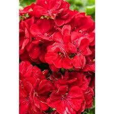 Dark Red Flower - flowering drought tolerant red annuals garden plants