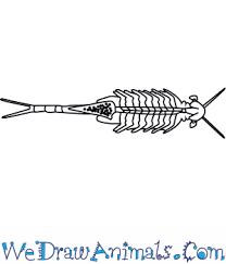 how to draw a fairy shrimp