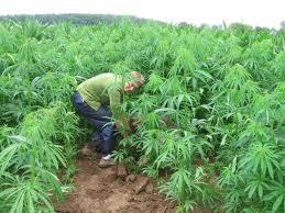 cannabis im garten hanfg磴rten hier spricht der aushilfshausmeister