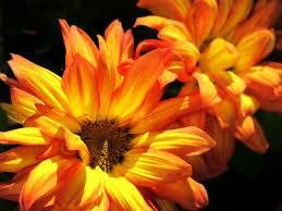 mums flower free images leaf flower petal orange autumn yellow flora