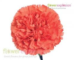 carnations flowers orange carnations flower explosion