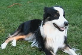 australian shepherd long hair jack russell mix breeds popular jack russell terrier mixes
