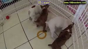 boxer dog for adoption boxer puppies dogs for sale in tampa florida fl 19breeders
