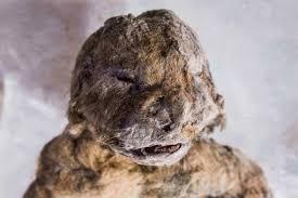 siberia u0027s frozen cave lion cubs dna death u0026