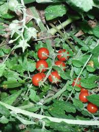 native florida plants the everglades tomato florida hillbilly