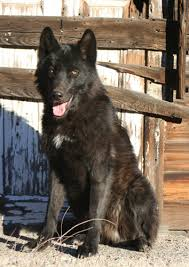 belgian sheepdog wolf hybrid hollywood animals trained wolves and wolf hybrids for film tv and