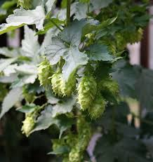 how to grow your own hops hobby farms