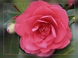 Kamelienblüte - Bild \u0026amp; Foto von Ursula Plath aus Sträucher ... - 12565039