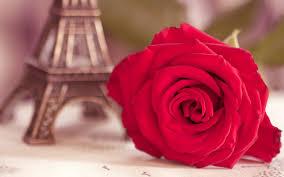wallpaper flower red rose flower red rose eiffel tower photo 6959230