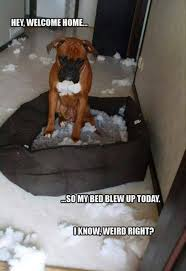 boxer dog funny funny boxer dog meme to see boxer pinterest funny boxer dogs