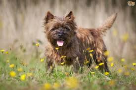brindle cairn haircut grooming tips for a cairn terrier puppy pets4homes