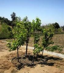 Dave Wilson Nursery Backyard Orchard by Dave Wilson Nursery Fruit Tree Pruning Method High Density And