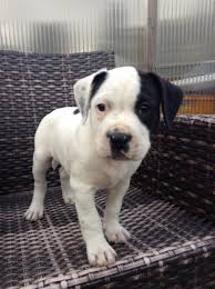 Zeus Bad Iburg Hunde ähnlich Pitbull Kaufen U0026 Verkaufen Niedersachsen