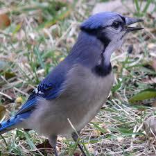 audubon blog blue jays audubon society of western pa